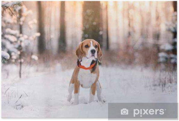 Poster Chien de race Beagle marchant dans la forêt d'hiver - Animaux