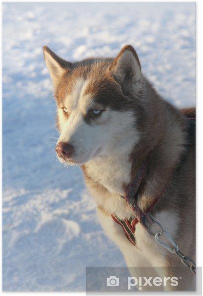 Poster Chien de traîneau sibérien sur la neige - Mammifères