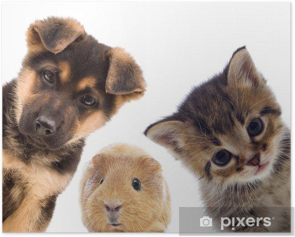 Poster Chiot et chaton et Guinée porc - iStaging