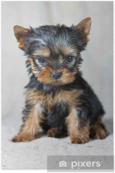 Poster Chiot Yorkshire Terrier - iStaging