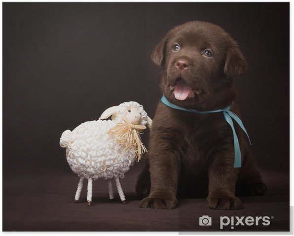 Chocolate Labrador Puppy Sitting Next To White Decorative Sheep Poster