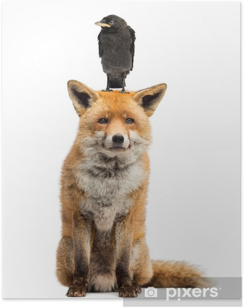 Poster Choucas des tours perché sur la tête de renard rouge, isolé sur blanc - Mammifères