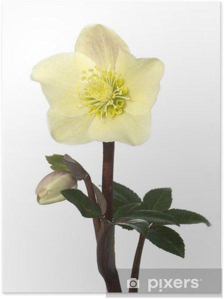 Poster Christrose, Helleborus, Helleborus x-ballardiae, cannelle, Neige, - Fleurs