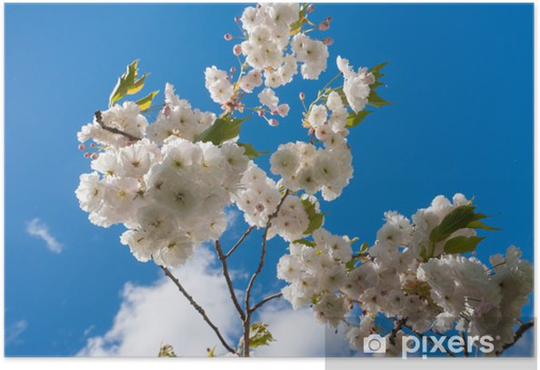 Poster Ciel bleu fleur de cerisier - Fleurs