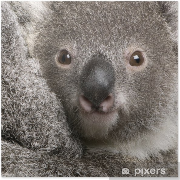 Poster Close-up de koala, Phascolarctos cinereus, âgé de 9 mois - Thèmes