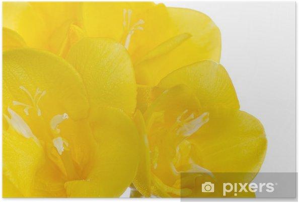 Poster Close up jaune fleur de freesia sur blanc - Fleurs
