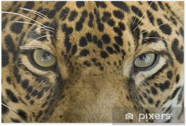 Poster Close up van de ogen van een mooie jaguar of Panthera onca - iStaging