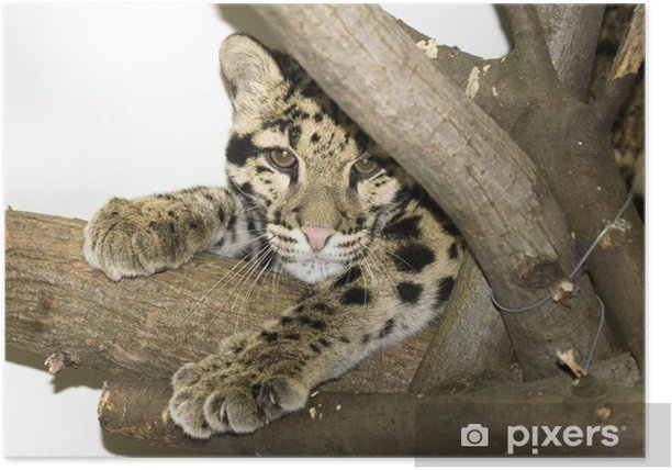 Clouded leopard (Neofelis nebulosa) Poster - Mammals