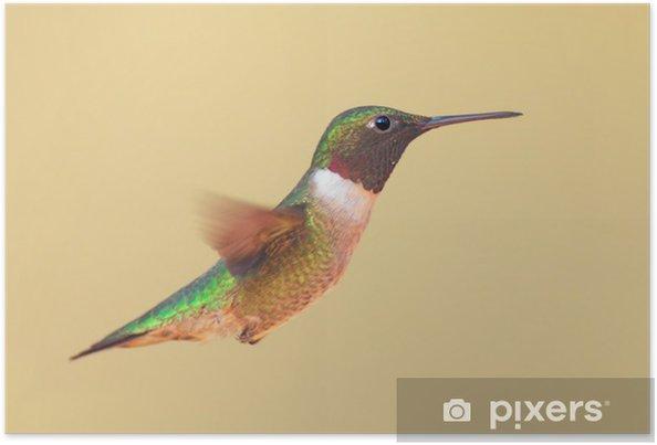Poster Colibri à gorge rubis (Archilochus colubris) en vol - Oiseaux