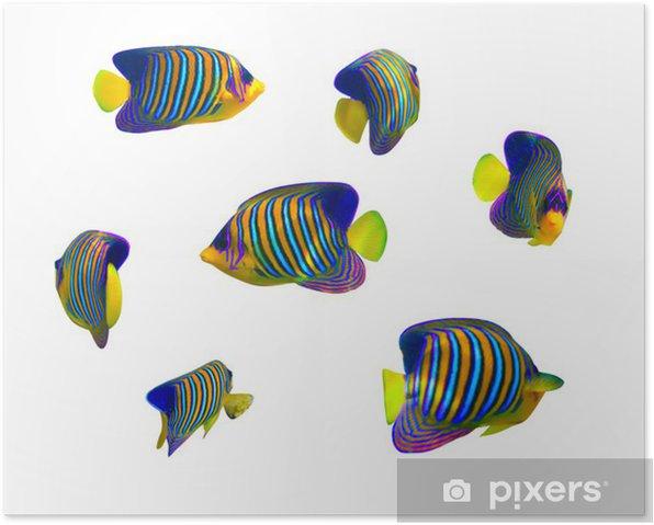 Poster Collection de poissons tropicaux sur fond blanc. - Animaux marins