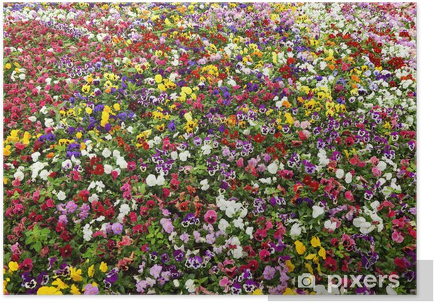 Colorful flower carpet in park - pansies. multicolored flowers Poster - Flowers