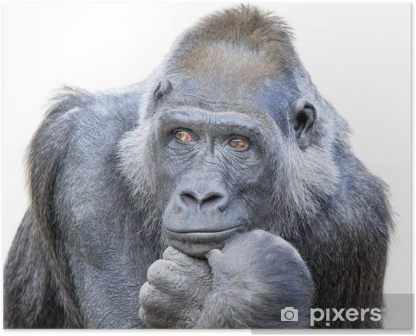 Póster Contemplativa Gorila - Maravillas de la naturaleza