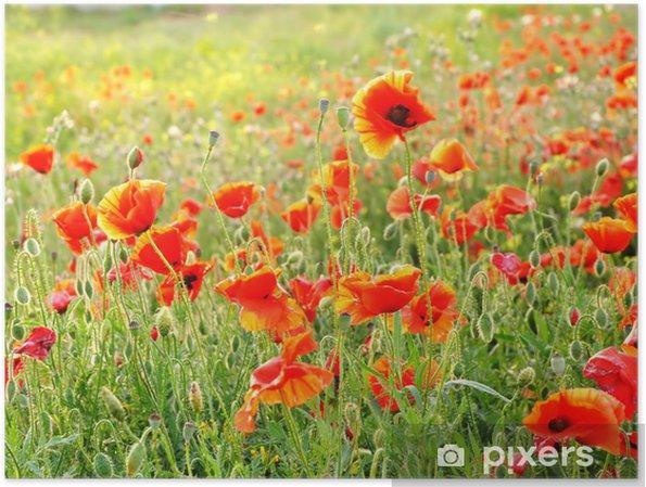 Poster Coquelicots écarlates sur le terrain en fleurs - Saisons