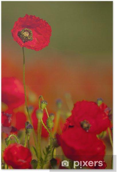 Coquelicots (Papaver rhoeas)dans un champ de céréales (blé / Poster - Flowers