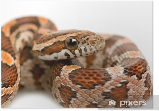 Corn Snake Poster Pixers We Live To Change