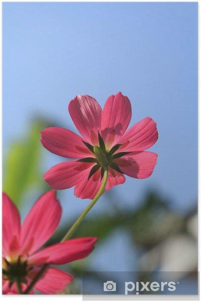 Poster Cosmos fleur rouge - Fleurs