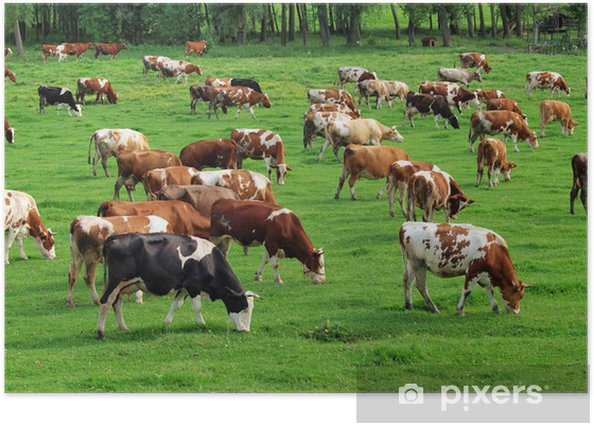 Cows grazing on pasture Poster - Agriculture
