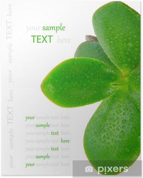 Poster Crassula ovata - Plantes