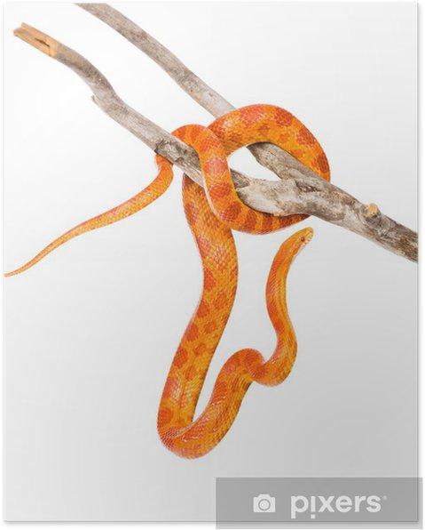 Poster Creamsicle Serpent des blés (Elaphe guttata guttata) sur une branche  sèche