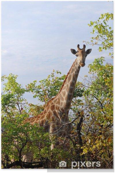 Poster Curieux girafe dans le parc national Kruger, en Afrique du Sud - Thèmes