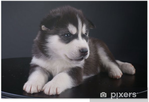 Cute Siberian Husky Puppy Poster Pixers We Live To Change