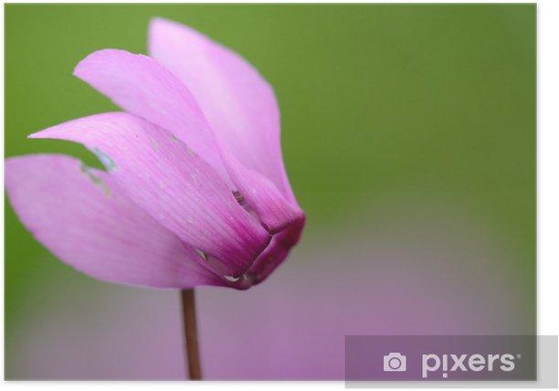 Poster Cyclamen - Fleurs