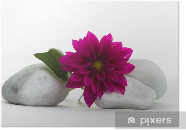 Dahlie auf Steinen Poster - Plants