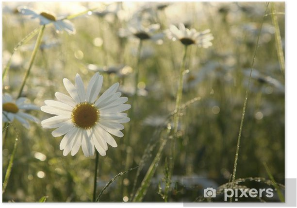 Daisies in a meadow backlit by the morning sun Poster - Flowers