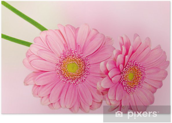 Daisy flowers Poster - Flowers