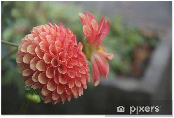 Poster Dalhia rose - Fleurs