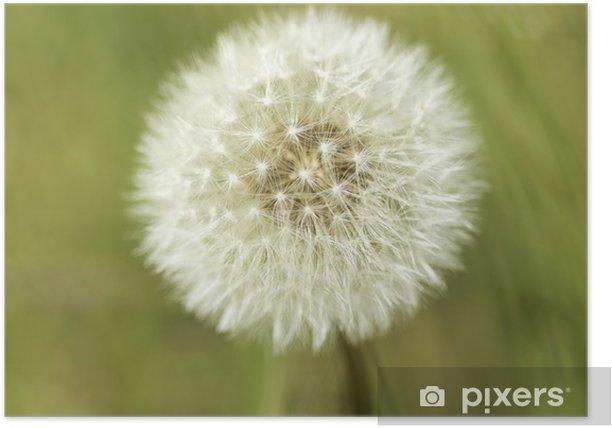 Poster Dandelion - Bloemen