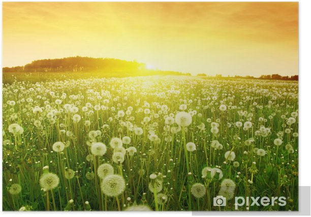 Dandelions in meadow during sunset. Poster - Themes