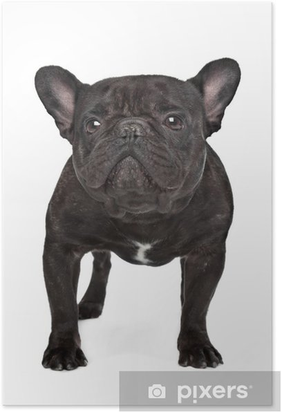 Dark brown French bulldog Poster - Mammals