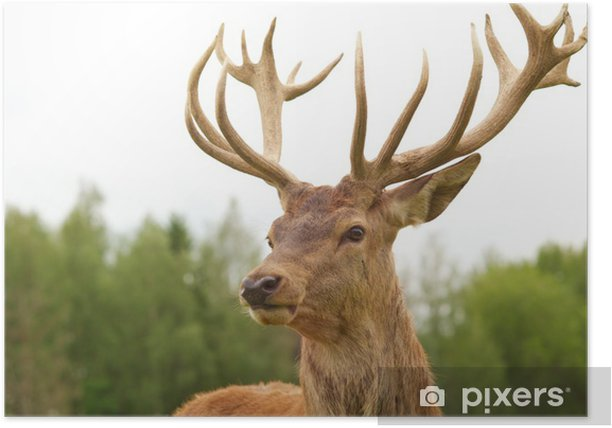 Deer close-up Poster - Themes