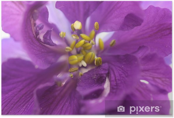 Póster Delphinium espuela de caballero cerca - Flores