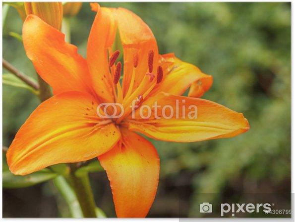 Poster Détail de la floraison de lis d'orange - Saisons