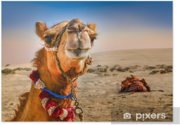Detail of camel's head with funny expresion Poster - Desert