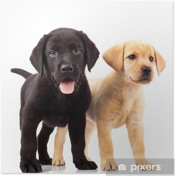 Poster Deux adorables chiots labrador - Sticker mural