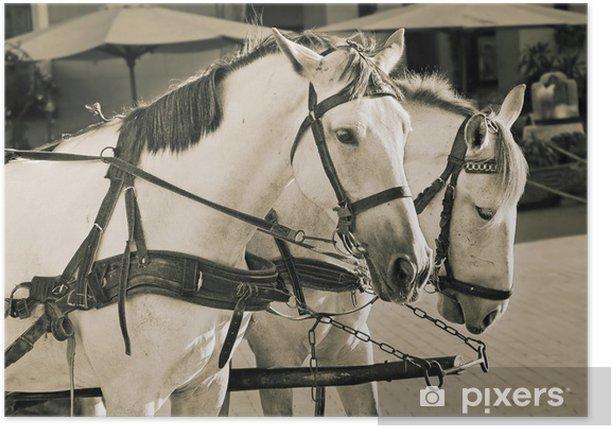 Poster Deux chevaux blancs - Mammifères