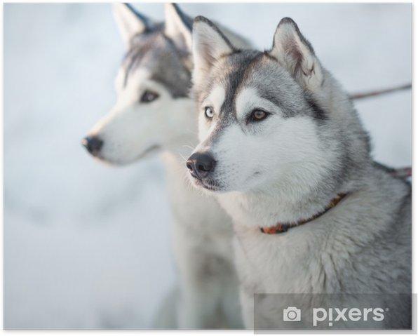 Poster Deux chiens husky portrait de gros - Chiens