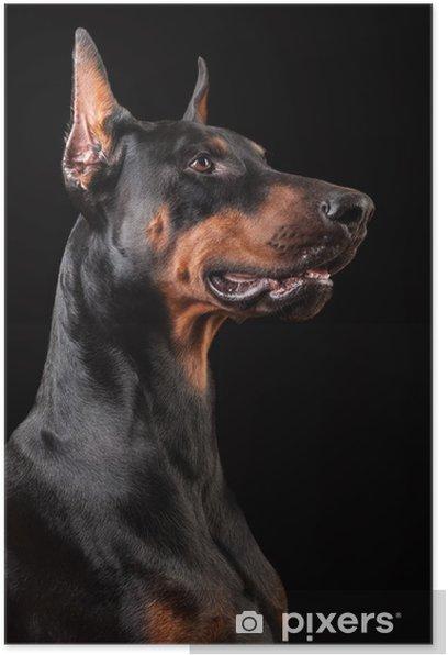 Poster Doberman Pinscher sur noir - Mammifères