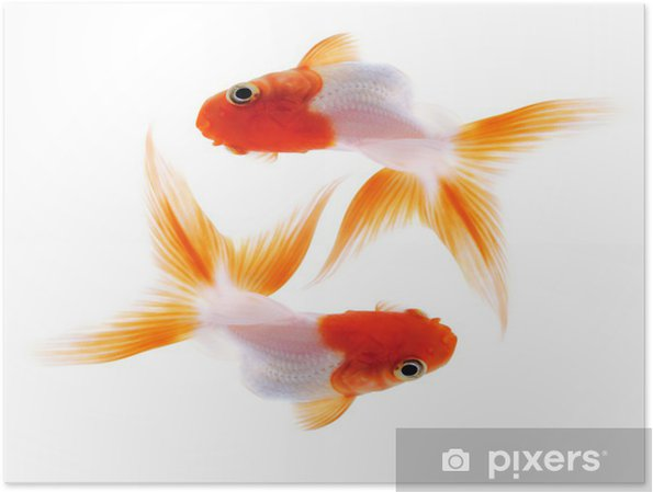 Póster Dos peces de colores en blanco - Animales marinos