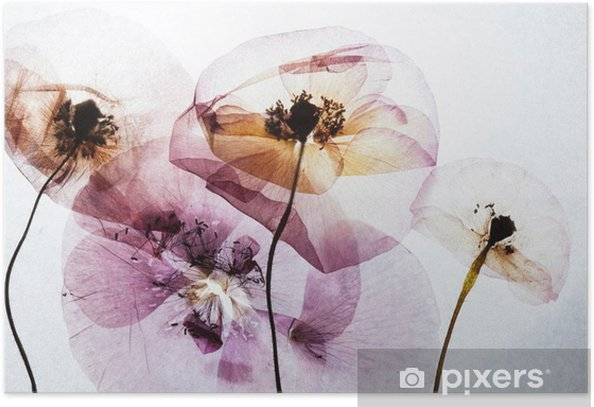 dry poppies Poster - Plants and Flowers