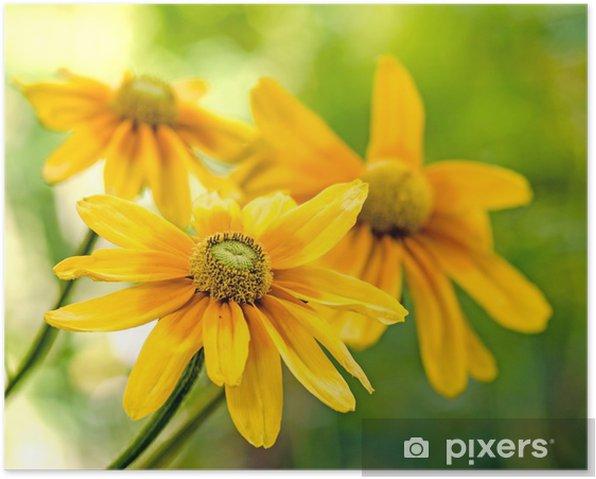 Poster Échinacée jaune (Rudbeckia) - Santé et médecine