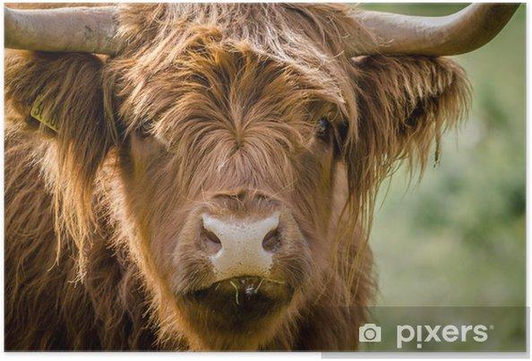 Poster Écossais Highland Cattle (vache) - Mammifères