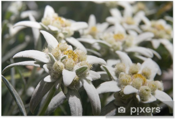 Edelweiss Wild Beautiful Rare Flowers Symbol Of Poster Pixers