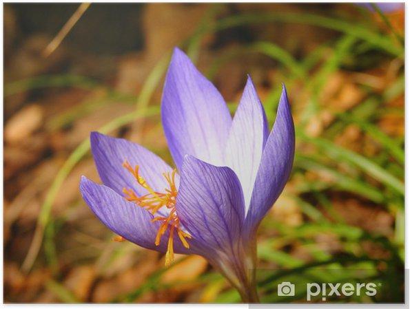 Poster Edelweiss - Fleurs