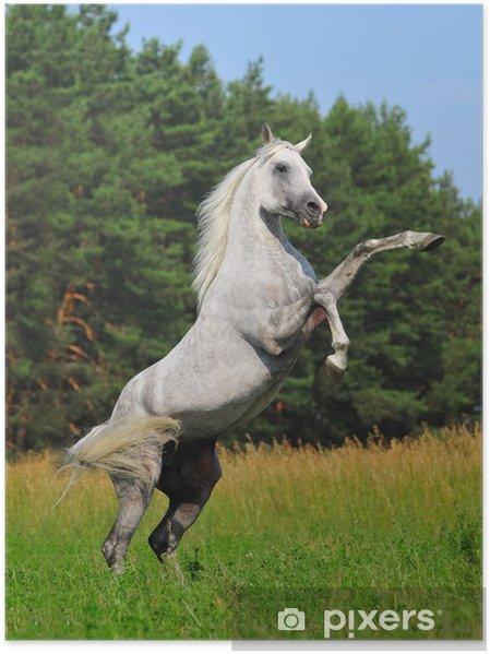 Poster Élevage cheval arabe - Mammifères