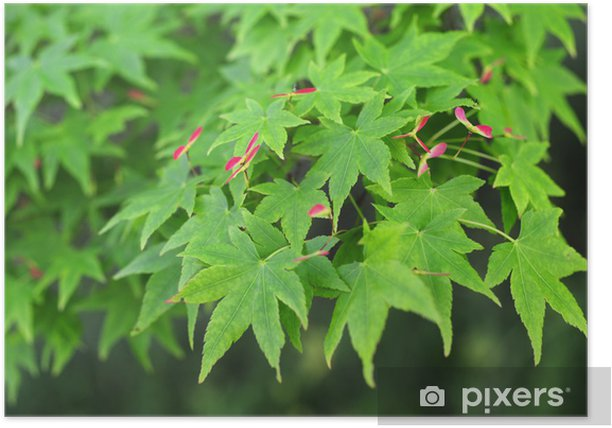 Poster Érable japonais 4 - Plantes