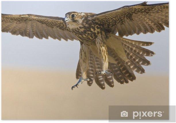 Poster Falcon en vol - Oiseaux